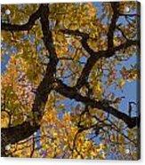 autumn Garry Oak Quercus garryana Klickitat County WA USA Acrylic Print