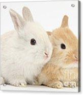 Baby Lop Rabbits Acrylic Print