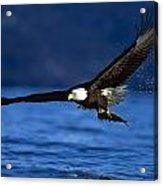 Bald Eagle Haliaeetus Leucocephalus Acrylic Print