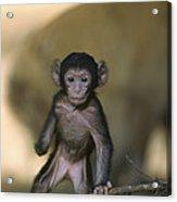 Barbary Macaque Macaca Sylvanus Infant Acrylic Print