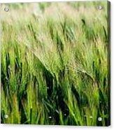 Barley, Co Down Acrylic Print