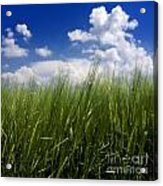 Barley Field  In Limagne. Auvergne. France Acrylic Print