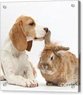 Beagle Pup And Rabbit Acrylic Print