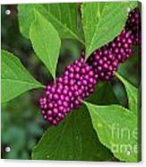 Beauty-berry Acrylic Print