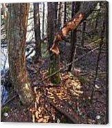 Beaver Marks Acrylic Print