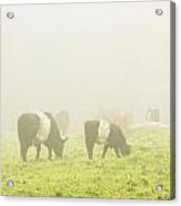 Belted Galloway Cows Grazing On Foggy Farm Field Maine Acrylic Print