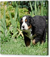 Bernese Mountain Dog Puppy Portrait Acrylic Print