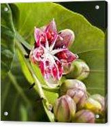 Berry Blossom Acrylic Print