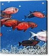 Bigeye Fish Acrylic Print