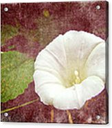 Bindweed - The Wild Perennial Morning Glory Acrylic Print