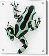 Black And Green Poison Dart Frog Acrylic Print