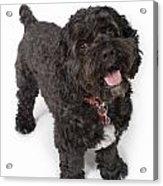 Black Bichon-cocker Spaniel Dog Acrylic Print