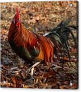 Black Breasted Red Phoenix Rooster Acrylic Print
