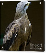 Black Kite 1 Acrylic Print