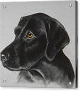 Black Labrador Acrylic Print by Patricia Ivy