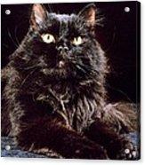 Black Persian Cat Acrylic Print