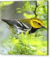 Black-throated Green Warbler Acrylic Print