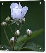 Blackberry Vine Flower Acrylic Print