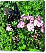 Blackie Acrylic Print