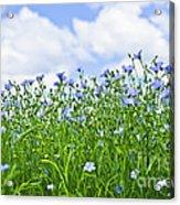 Blooming Flax Field Acrylic Print by Elena Elisseeva