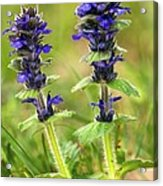 Blue Bugle (ajuga Genevensis) Acrylic Print