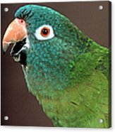 Blue Crowned Conure Acrylic Print