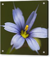 Blue-eyed Grass Wildflower - Sisyrinchium Angustifolium Acrylic Print