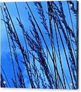 Blue Grass  Acrylic Print