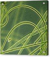 Blue-green Algae Acrylic Print by Sinclair Stammers