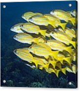 Blueline Snappers Acrylic Print