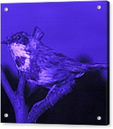 Bluethroat Acrylic Print by Volker Steger