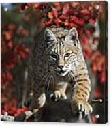Bobcat Felis Rufus Walks Along Branch Acrylic Print by David Ponton
