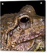 Bobs Robber Frog Acrylic Print