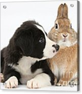 Border Collie Pup And Sandy Acrylic Print