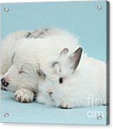 Border Collie Pup Sleeping With Rabbit Acrylic Print