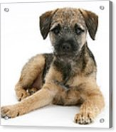 Border Terrier Puppy Acrylic Print