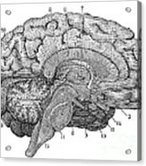 Brain Cross-section Acrylic Print