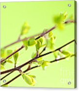 Branches With Green Spring Leaves Acrylic Print by Elena Elisseeva
