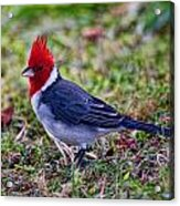 Brazillian Red-capped Cardinal Acrylic Print