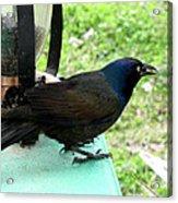 Brewers Black Bird  Acrylic Print