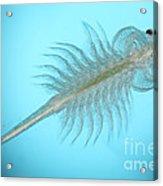 Brine Shrimp Acrylic Print