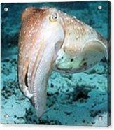 Broadclub Cuttlefish Acrylic Print