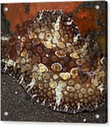 Brown And White Discodoris Nudibranch Acrylic Print
