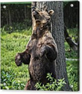 Brown Bear Itch Acrylic Print