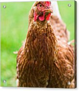 Brown Hen On A Lawn Acrylic Print
