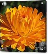 Calendula Named Bon-bon Orange Acrylic Print