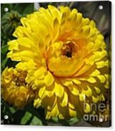 Calendula Named Bon-bon Yellow Acrylic Print
