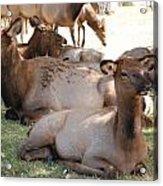 Calf Elk Acrylic Print