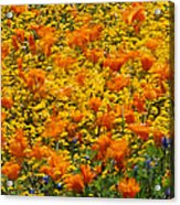 California Poppies And Goldfields Dance Acrylic Print