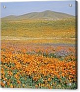 California Poppies Fill A Landscape Acrylic Print